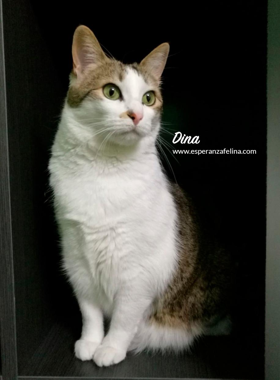 Dina, preciosa gata busca su hogar (Álava, fecha de nacimiento aproximada 10/04/2014 ) Img-2056