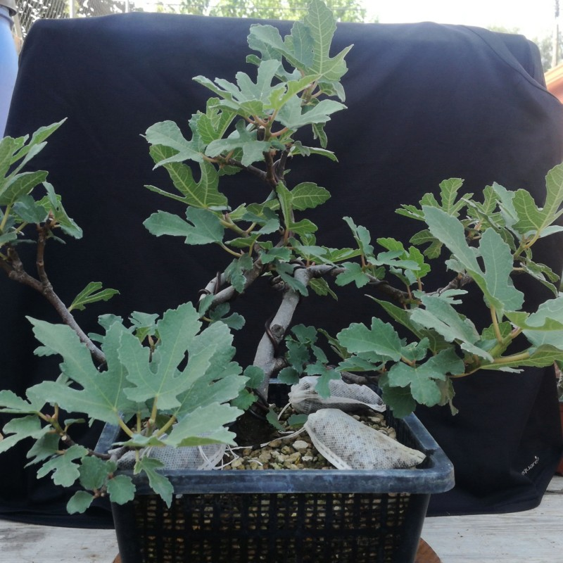 Sustratos para bonsai 20180832