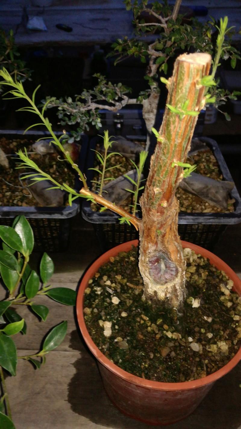 Ciprés de los pantanos, Ciprés calvo. Taxodium distichum 20180911