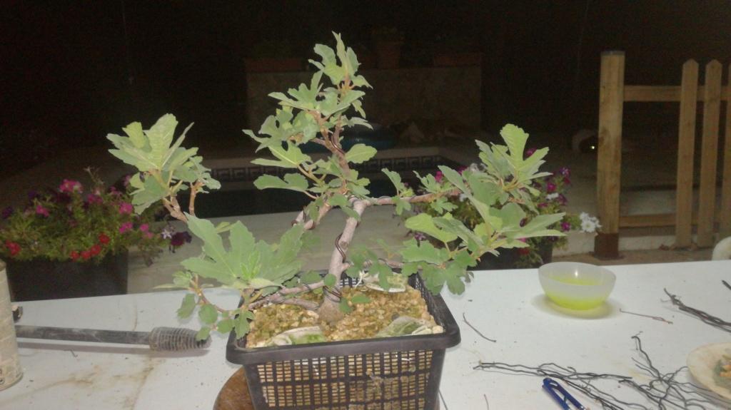Ficus carica en evolucion Img-2014