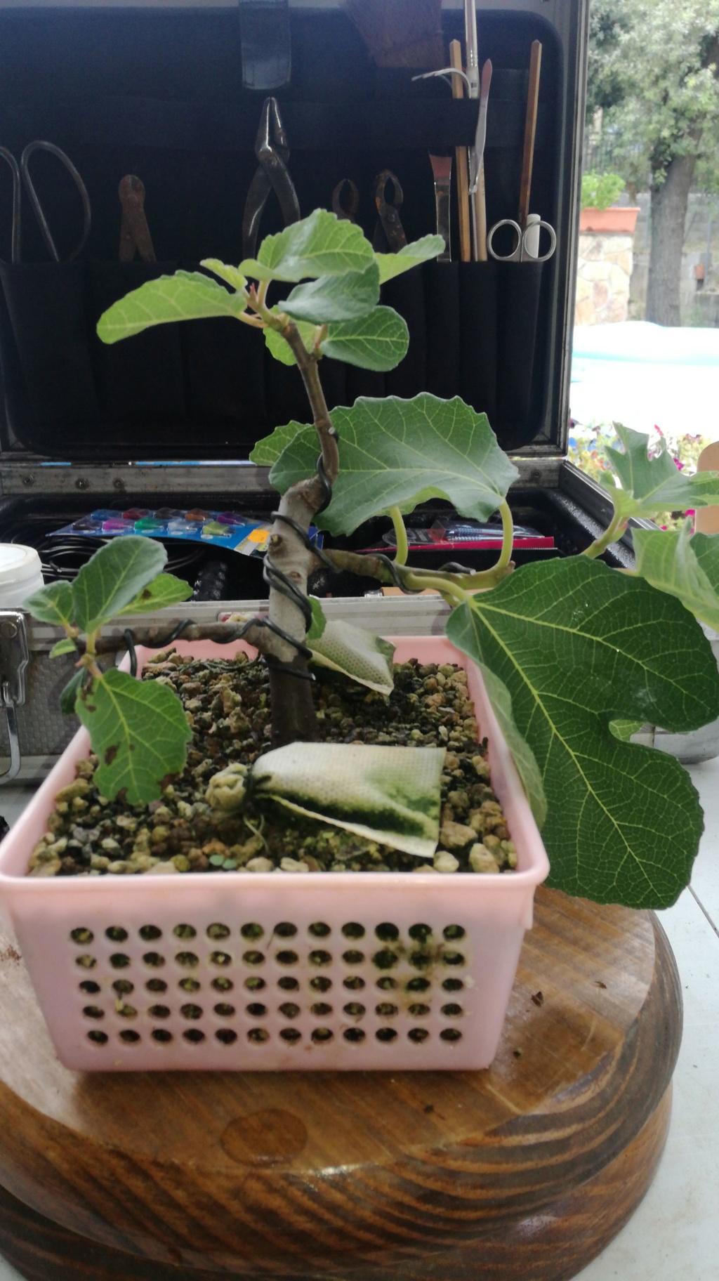 Ficus carica (higuera) en roca Img-2020