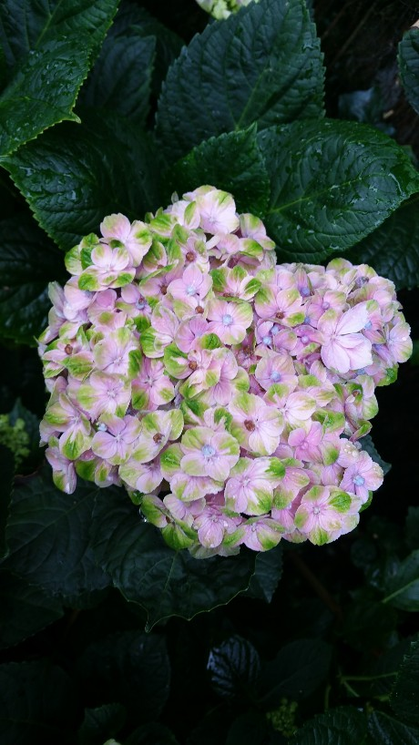 Hydrangea macrophylla 'Magical Four Seasons' 20150714