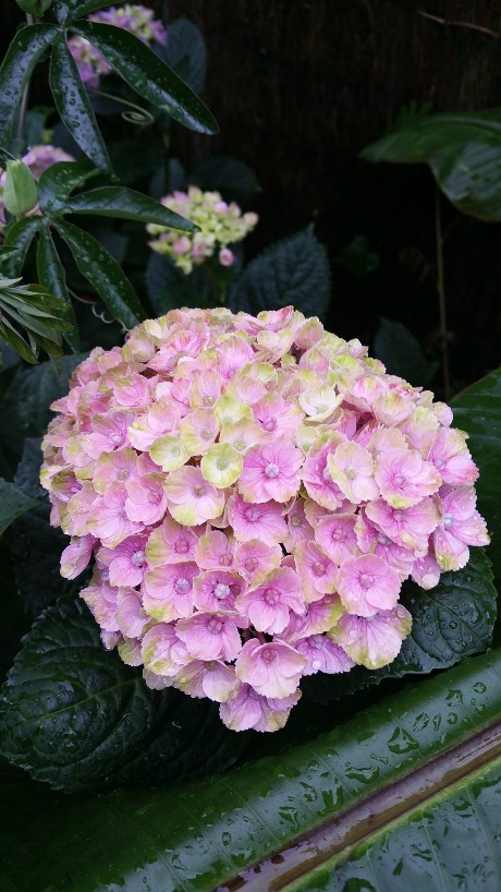 Hydrangea macrophylla 'Magical Four Seasons' 20150715
