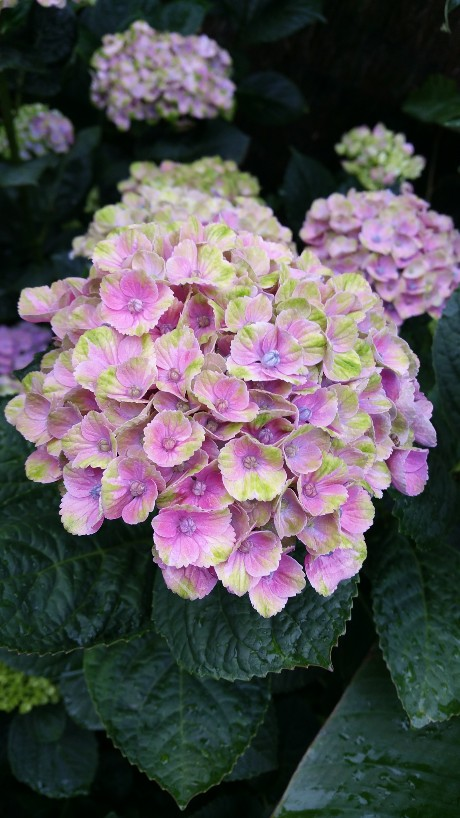 Hydrangea macrophylla 'Magical Four Seasons' 20150716