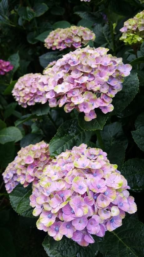 Hydrangea macrophylla 'Magical Four Seasons' 20150717