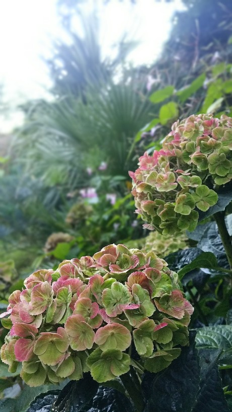 Hydrangea macrophylla 'Magical Four Seasons' 20151010