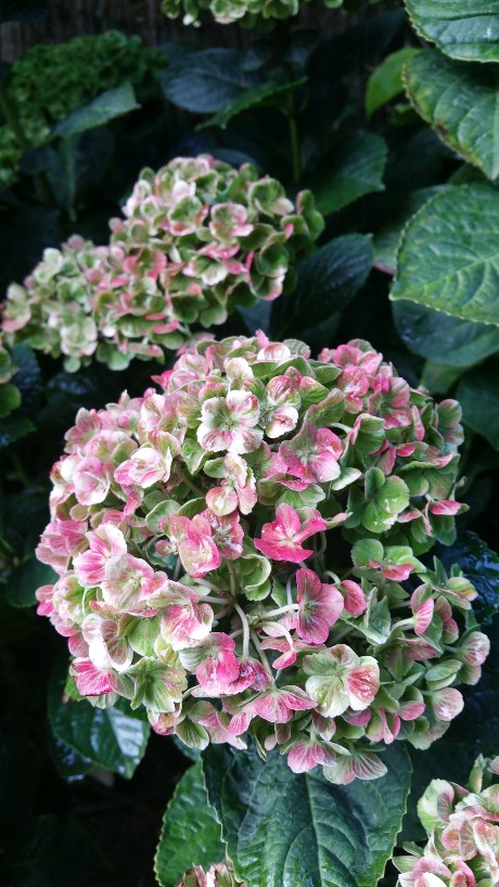 Hydrangea macrophylla 'Magical Four Seasons' 20151011