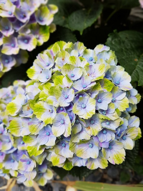 Hydrangea macrophylla 'Magical Four Seasons' 20160711