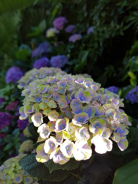 Hydrangea macrophylla 'Magical Four Seasons' 20160712