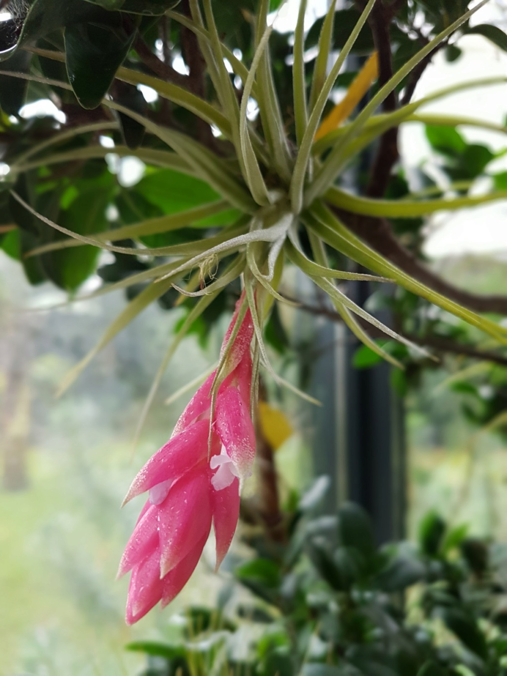 Tillandsia 'Cotton Candy' 20171210