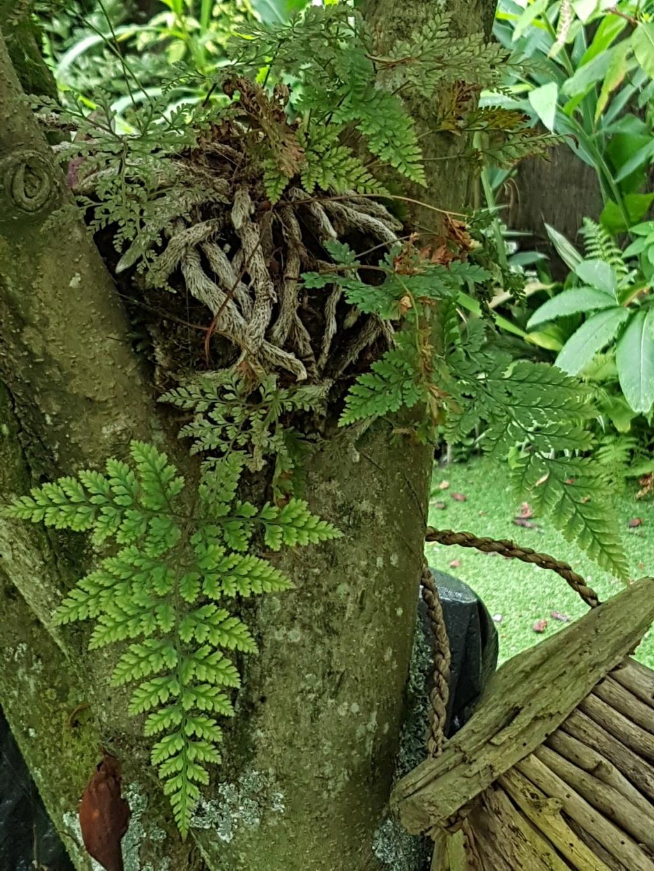 Davallia - fougère patte de lapin - Page 2 20180123
