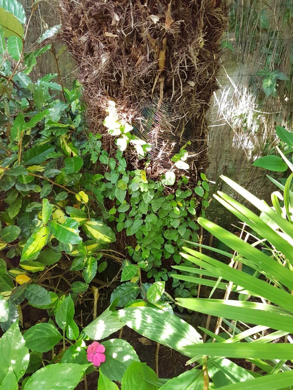 Ficus pumila - Page 5 20180126