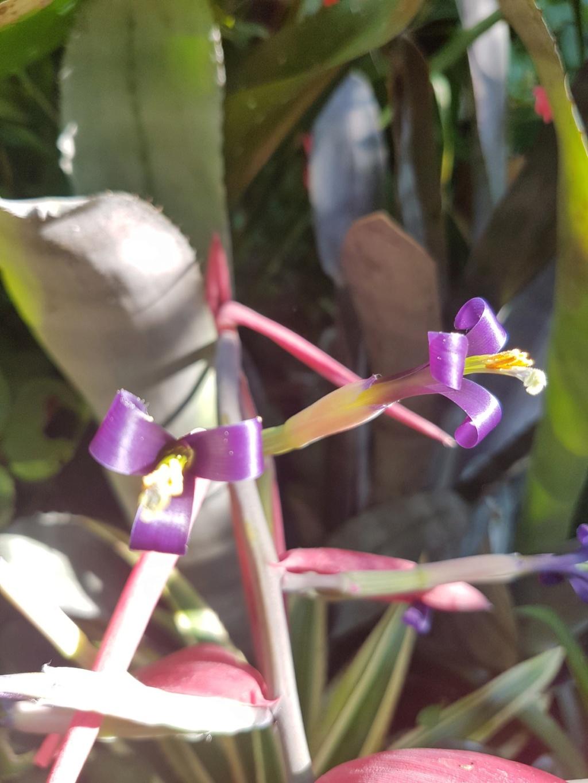 Billbergia zebrina  20180151