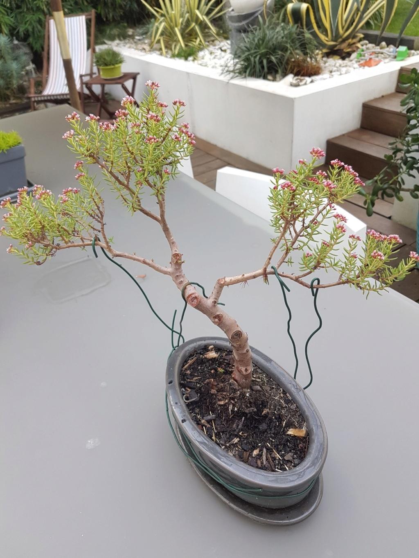 Bonsai et prebonsai 20180158