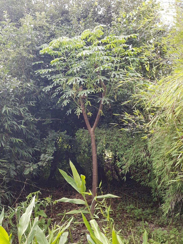 Manihot esculenta et carthaginensis (= grahamii) 20180165