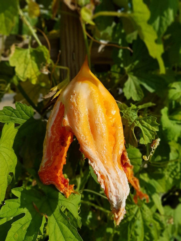 Momordica charantia 20180188