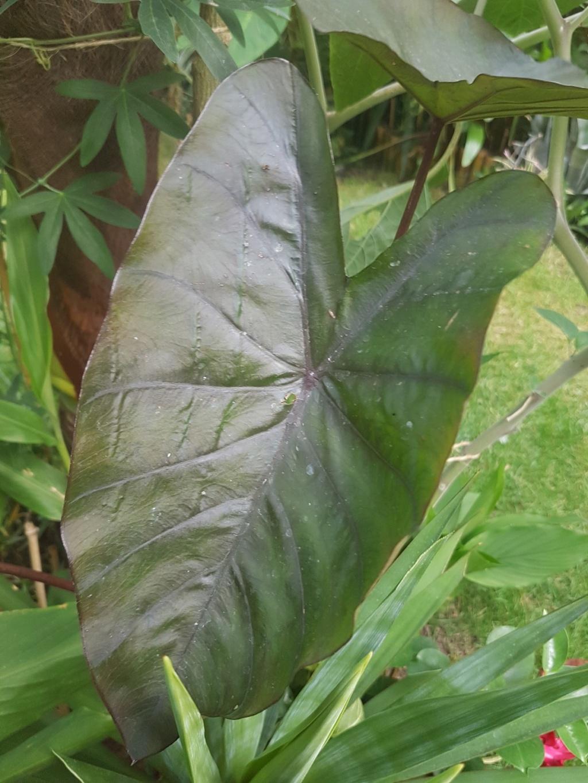 Colocasia esculenta 'Sangria' 20180203