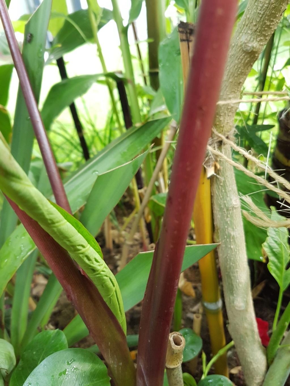 Colocasia esculenta 'Sangria' 20180205