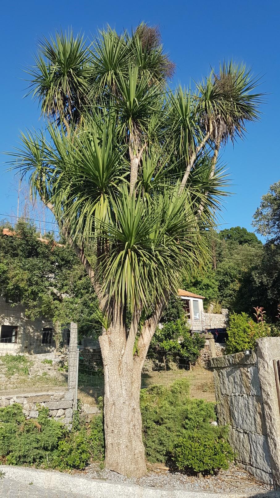 Cordyline australis - Page 2 20180297