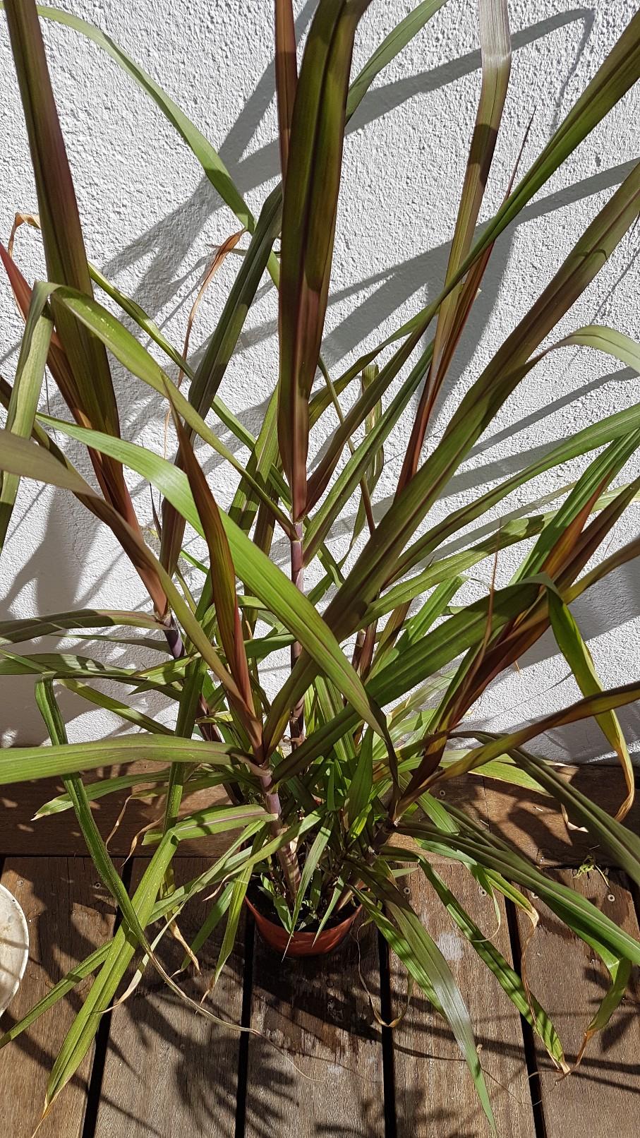 Saccharum officinarum var. purpureum - canne à sucre pourpre - Page 2 20180328