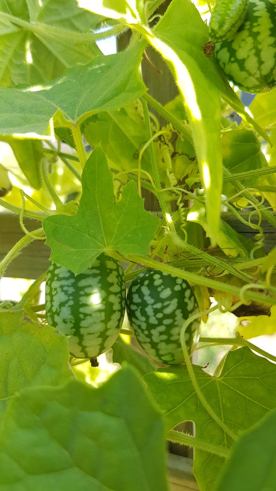 Melothria scabra - concombre à confire 20180375