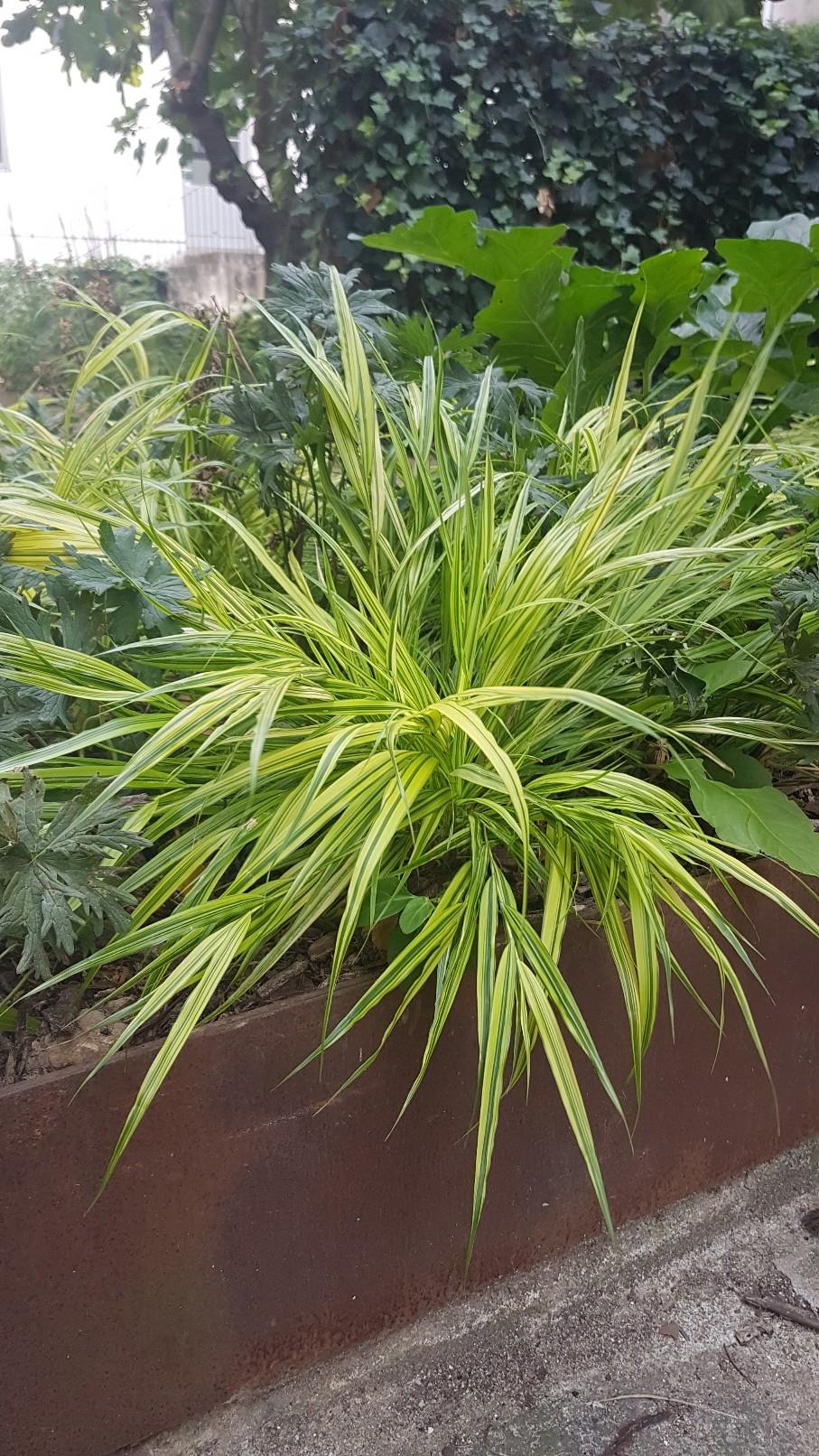 Hakonechloa macra, Chasmanthium latifolium, Euphorbia 'Diamond Frost' [identifications] 20180378