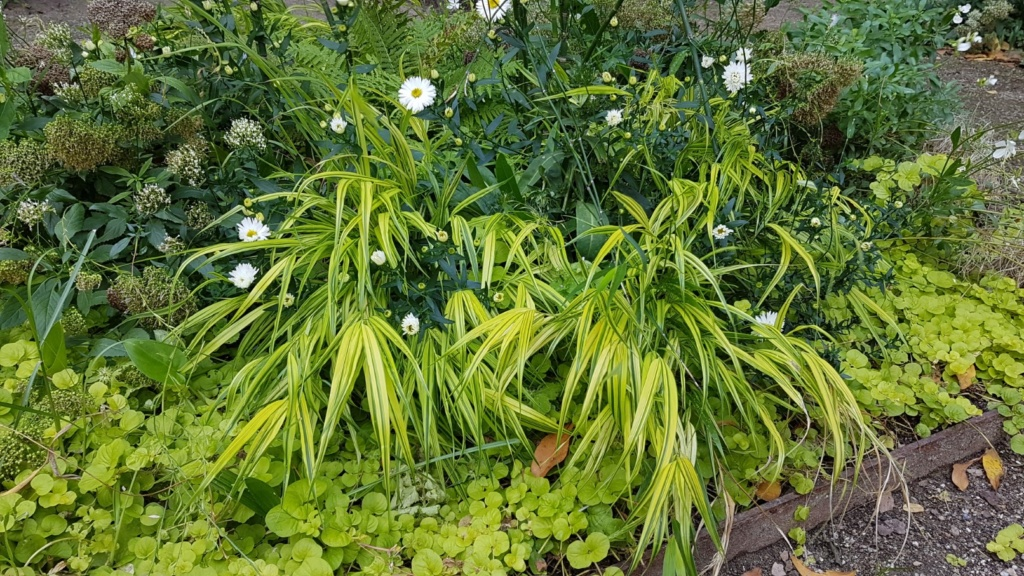 Hakonechloa macra, Chasmanthium latifolium, Euphorbia 'Diamond Frost' [identifications] 20180379