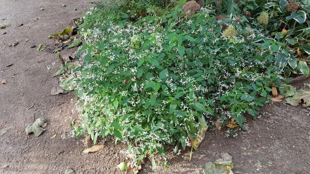 Hakonechloa macra, Chasmanthium latifolium, Euphorbia 'Diamond Frost' [identifications] 20180384