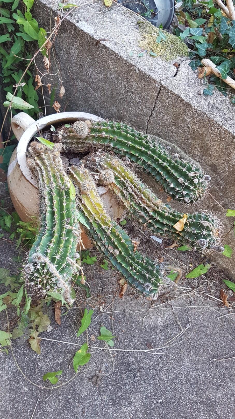 Echinopsis [identification à compléter] 20180399
