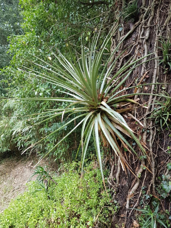 Puya chilensis 20180401