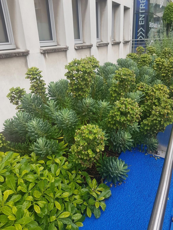 Euphorbia characias - Page 2 20180611