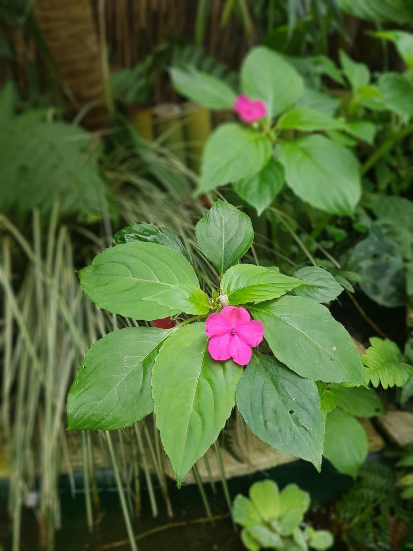 Rémi - Mon (tout) petit jardin en mode tropical - Page 7 20180631