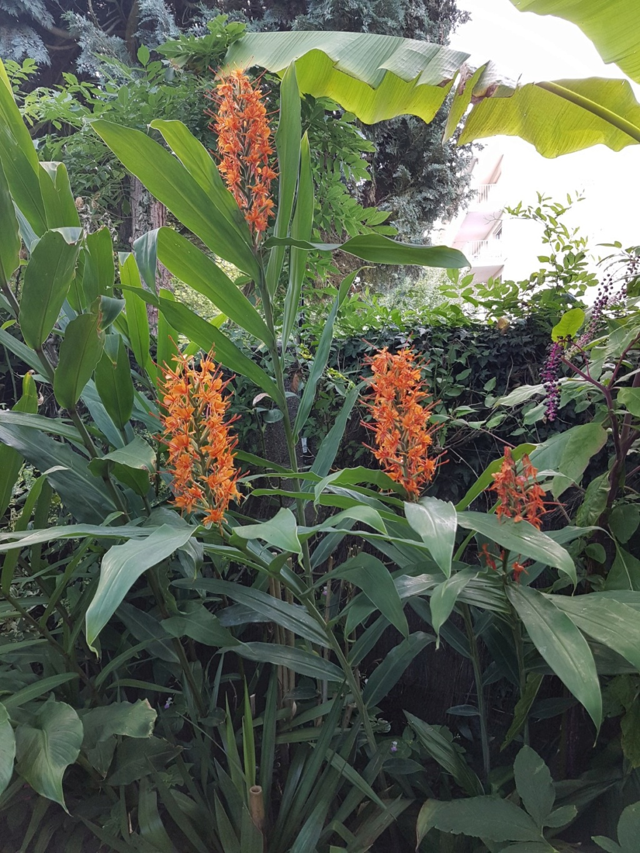 Rémi - Mon (tout) petit jardin en mode tropical - Page 9 20180853