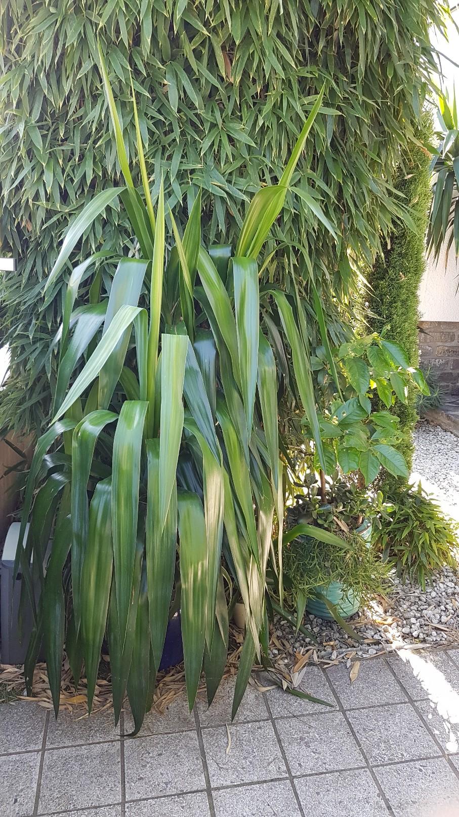 Rémi - Mon (tout) petit jardin en mode tropical - Page 9 20180940