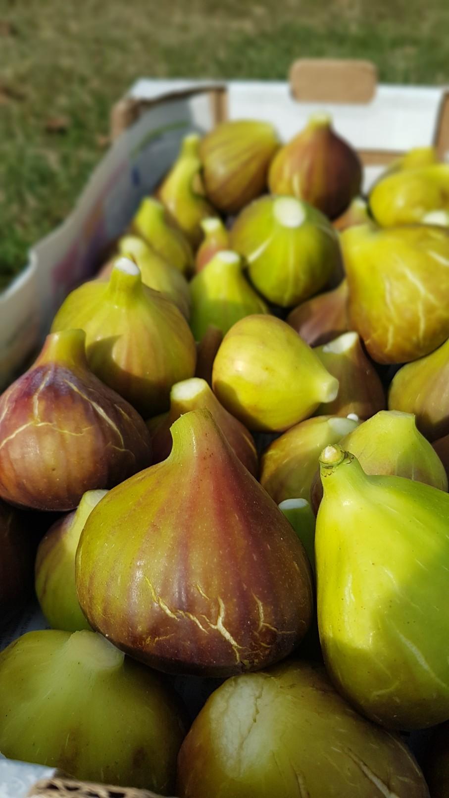 Ficus carica - figuier commun 20180995