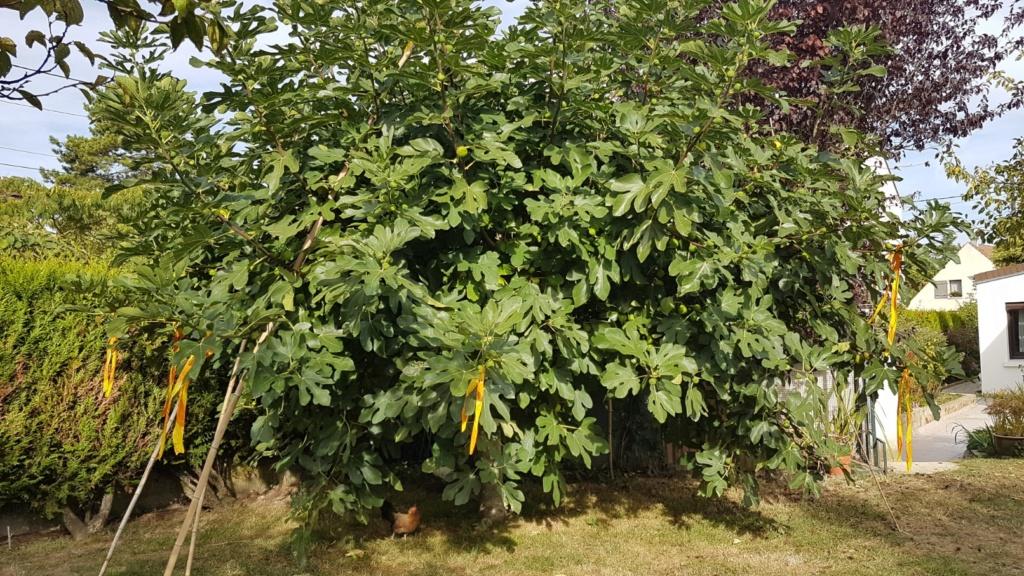 Ficus carica - figuier commun 20180996
