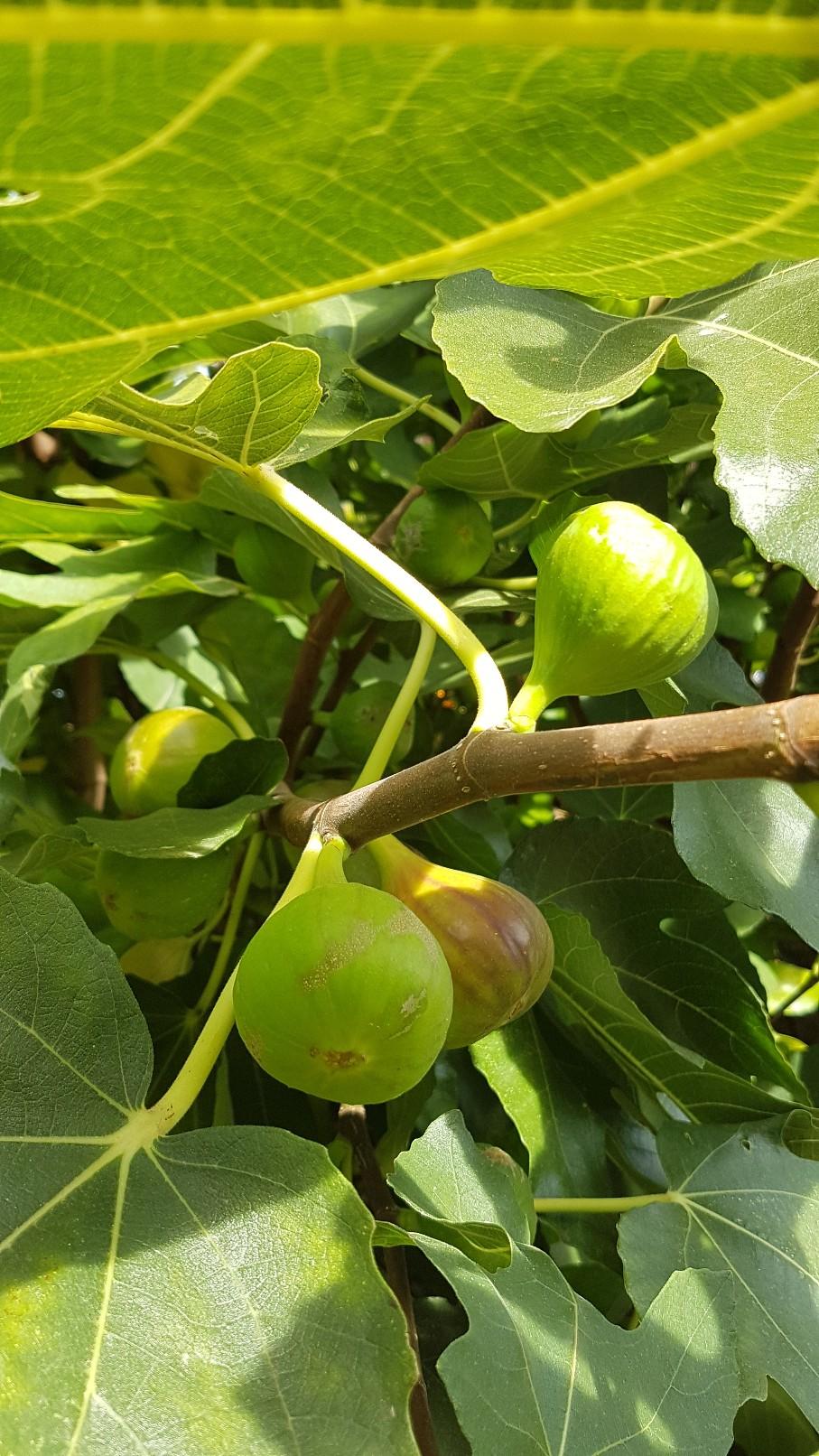 Ficus carica - figuier commun 20180997