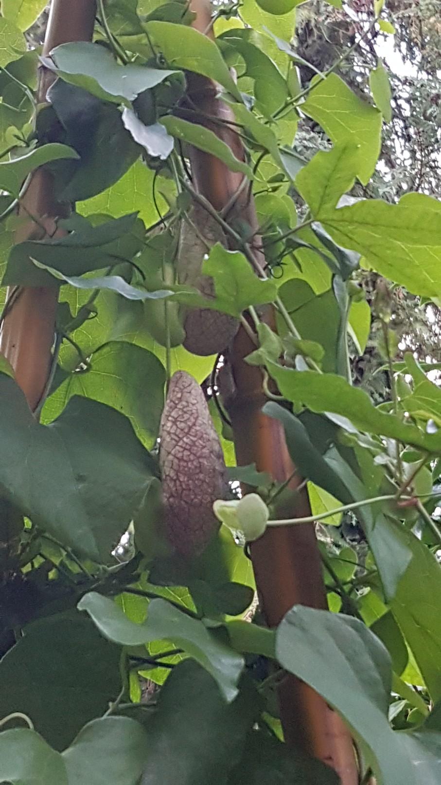 Aristolochia gigantea - Page 2 20181098