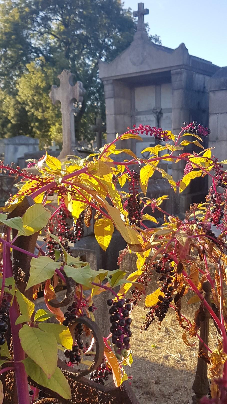 Phytolacca americana - raisin d'Amérique 20181129
