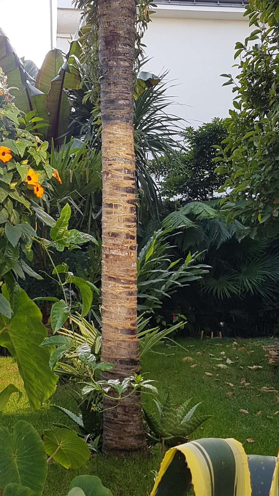 Trachycarpus fortunei - Page 9 20181134