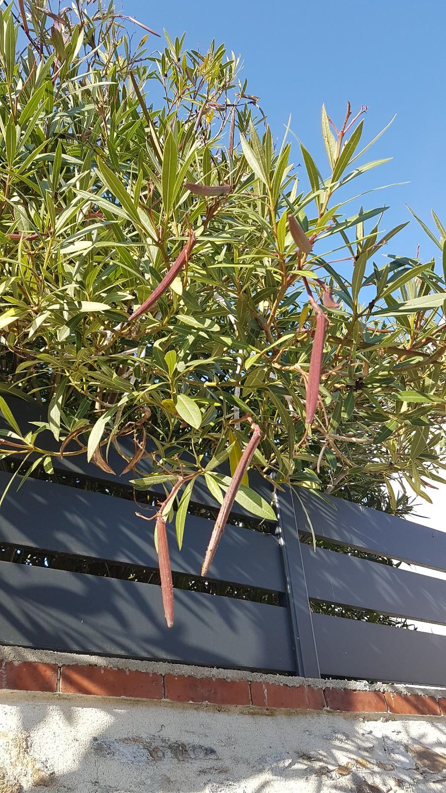 Nerium oleander [devinette] 20181140