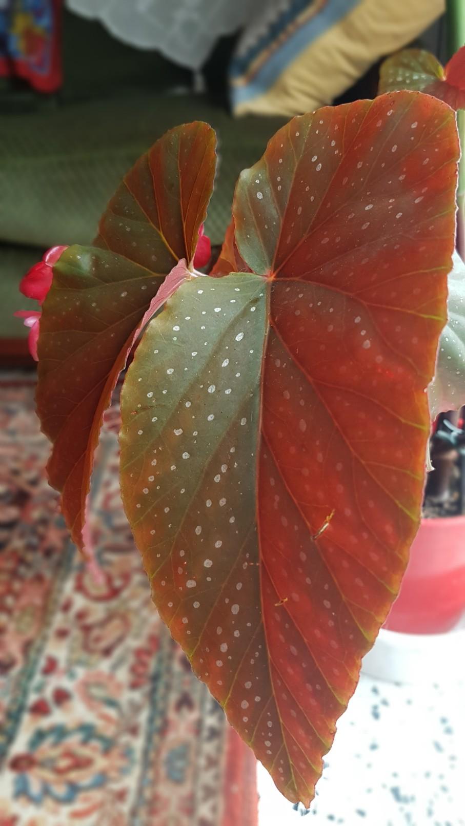Begonia maculata et horticoles - bégonia bambou 20181173