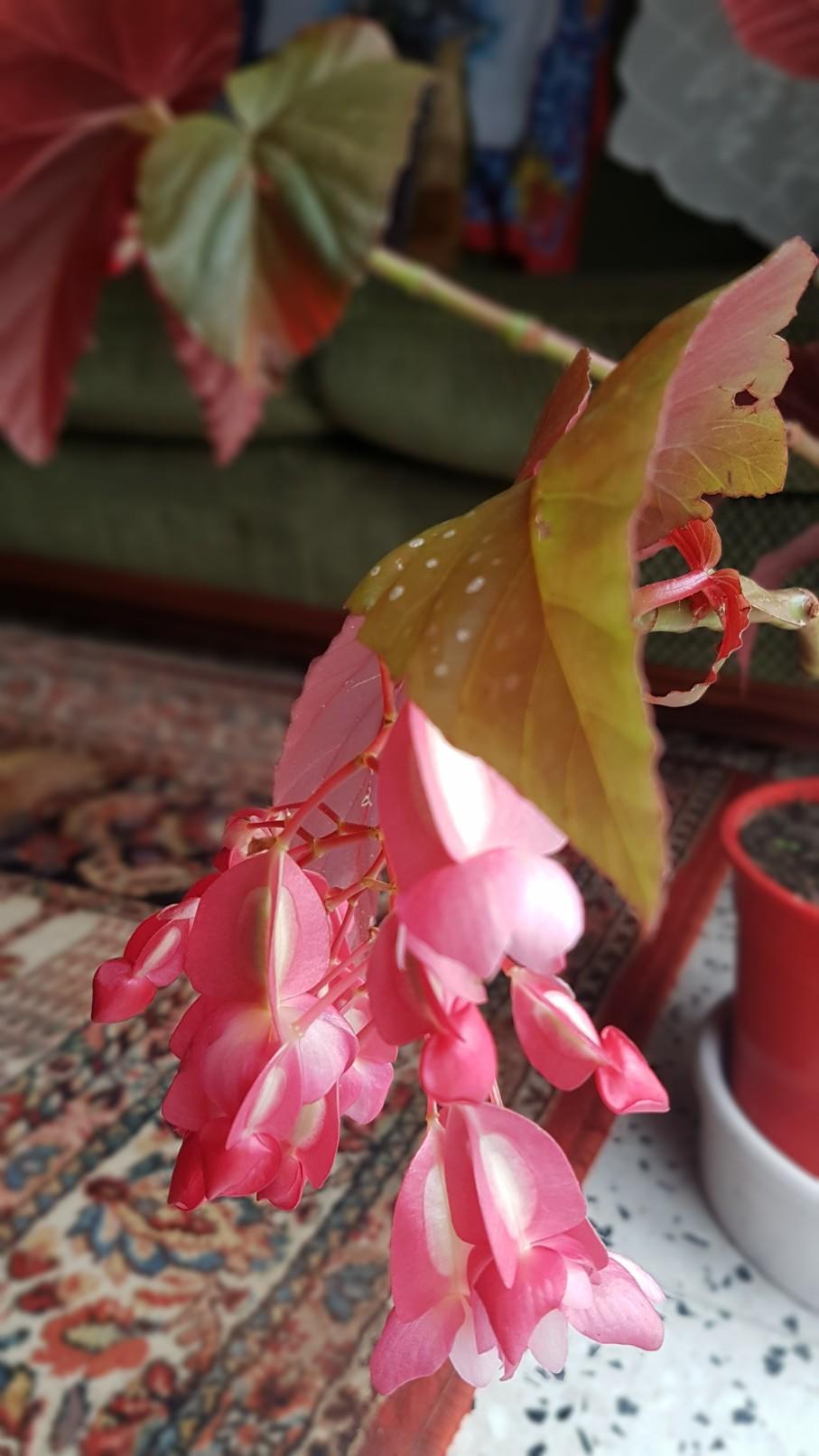 Begonia maculata et horticoles - bégonia bambou 20181174