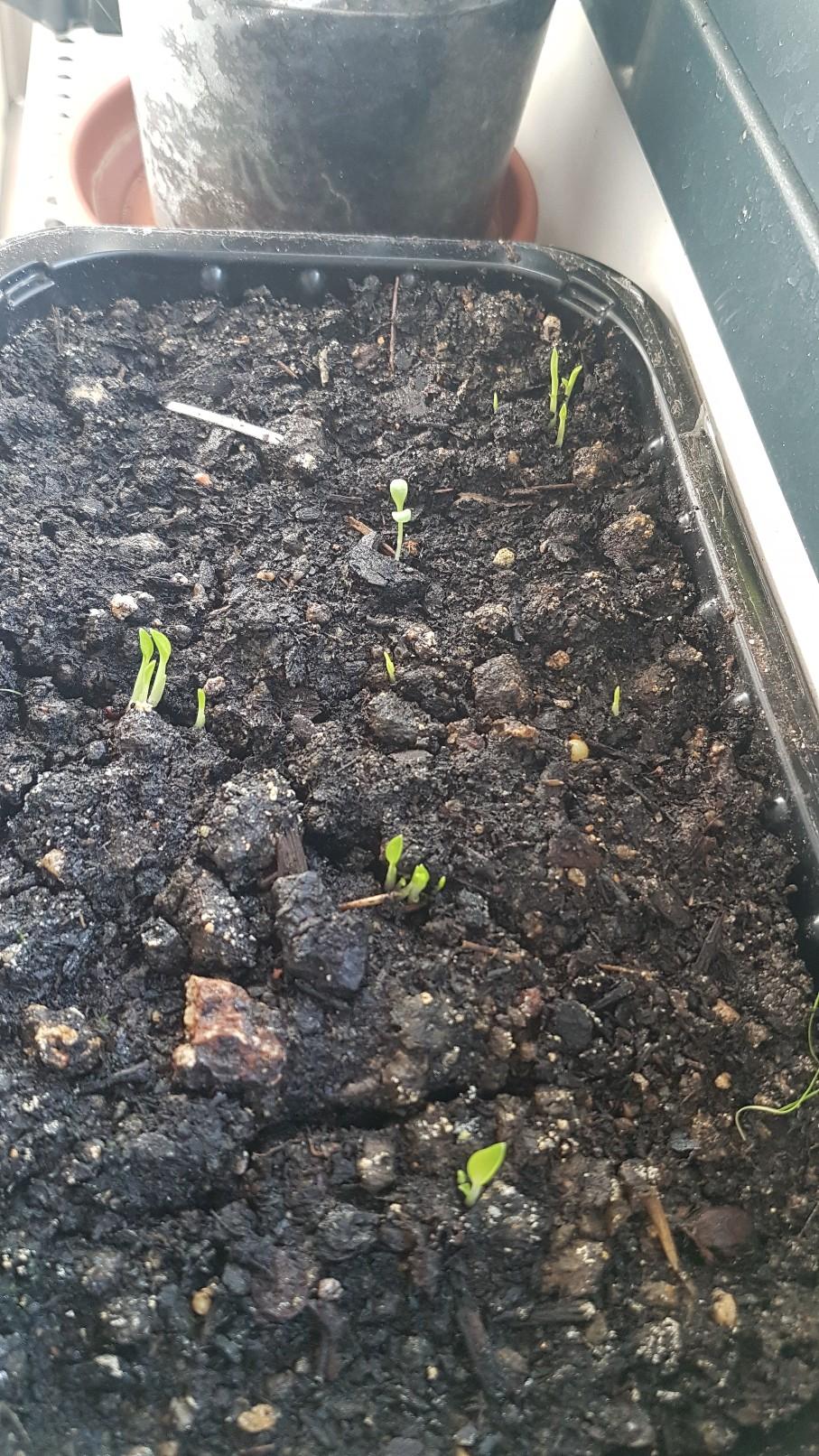 Hedychium horsfieldii 20181192