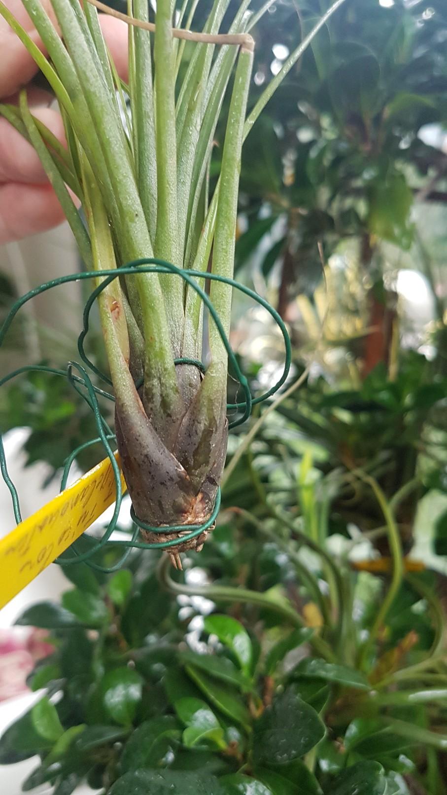 Tillandsia tenuifolia  20181245