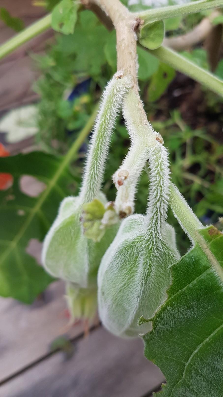 Brugmansia sanguinea - Page 2 20181251