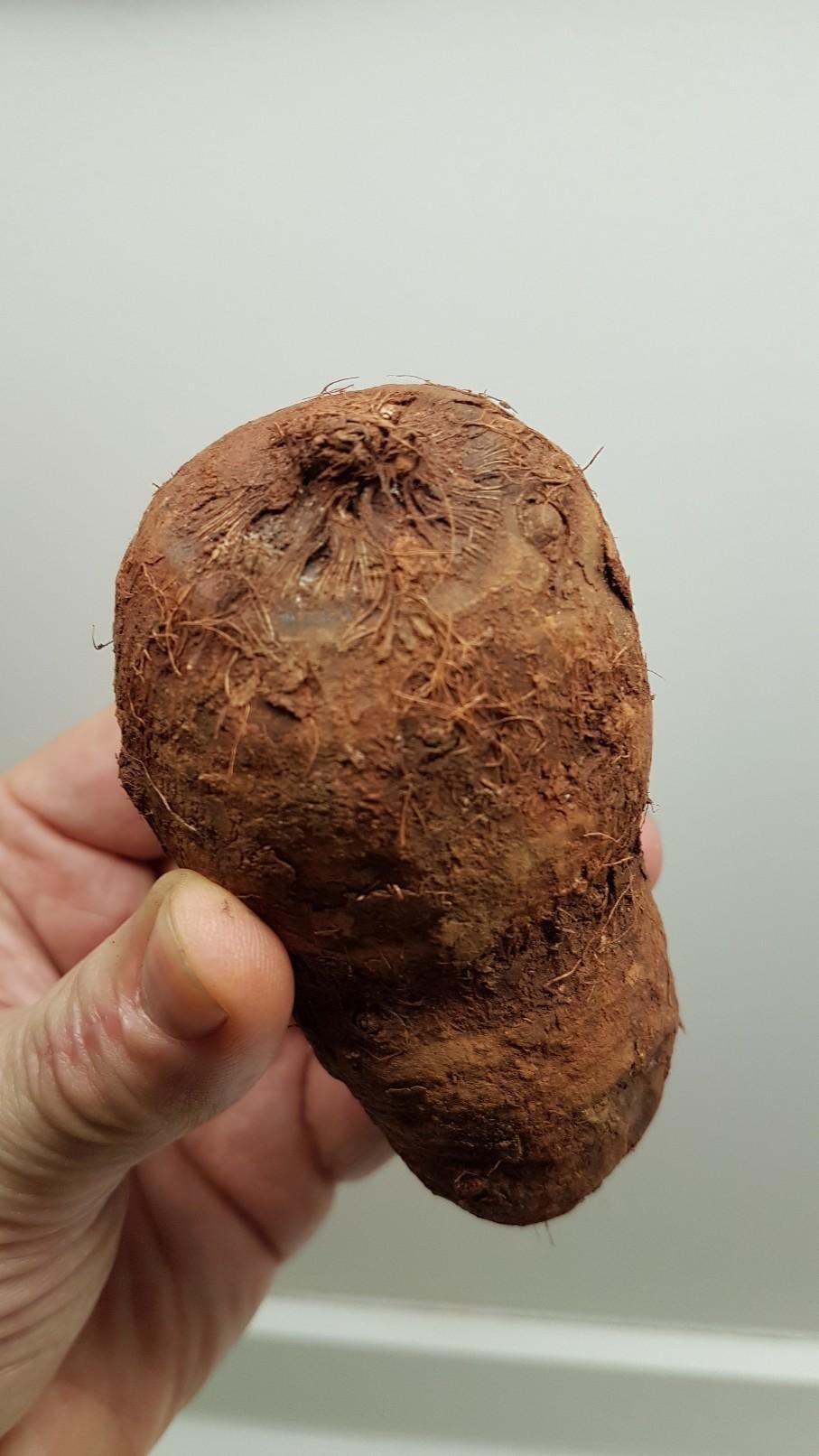 Xanthosoma sagittifolium 20181286
