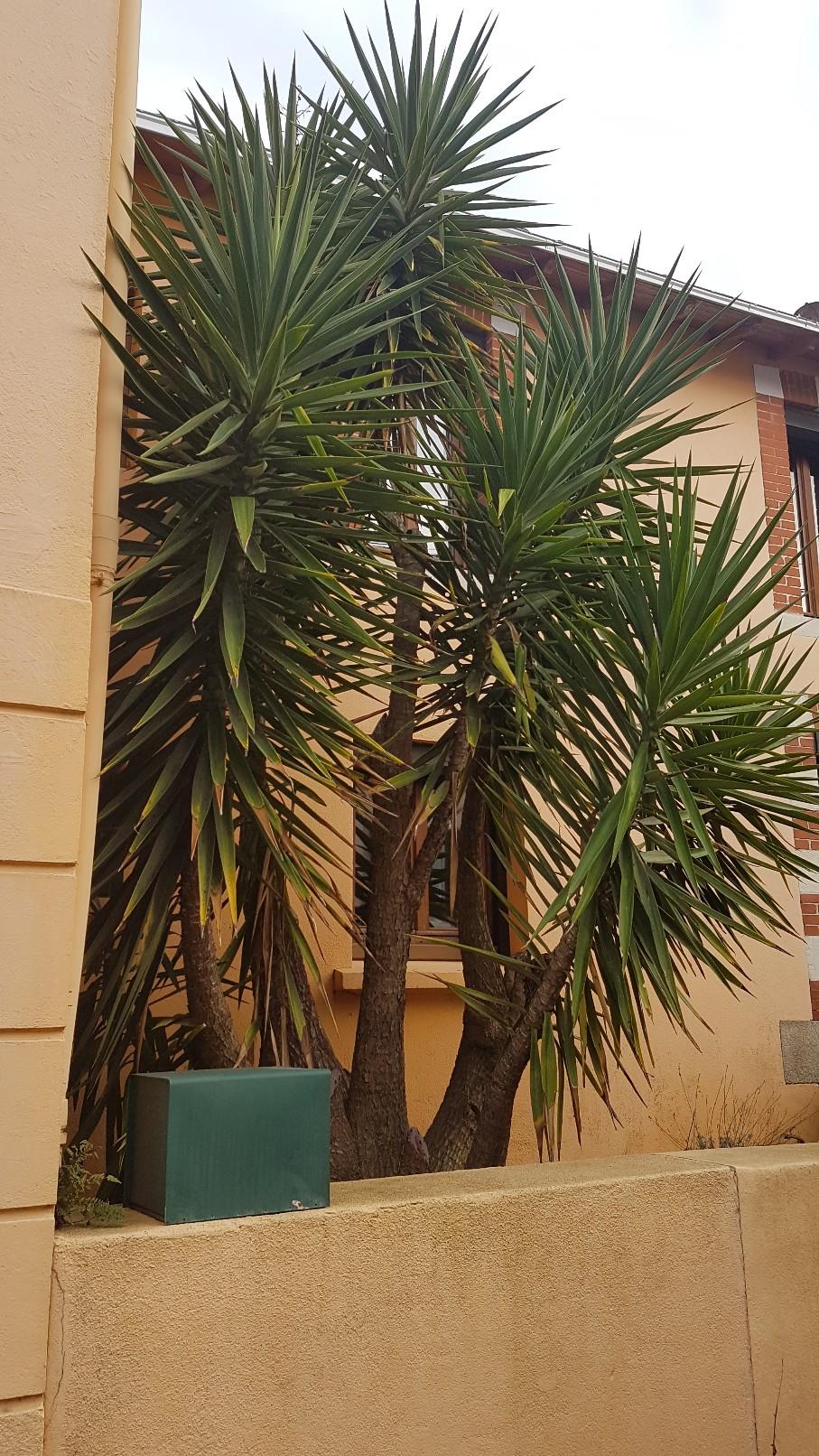 Yucca elephantipes - Yucca gigantea - Yucca guatemalensis - Page 5 20181292