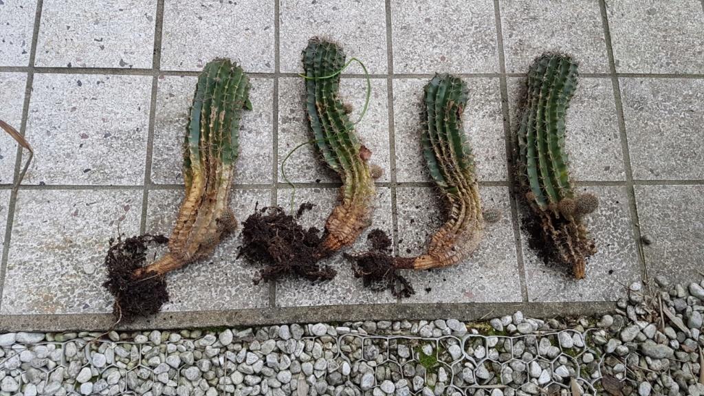 Echinopsis [identification à compléter] 20190137