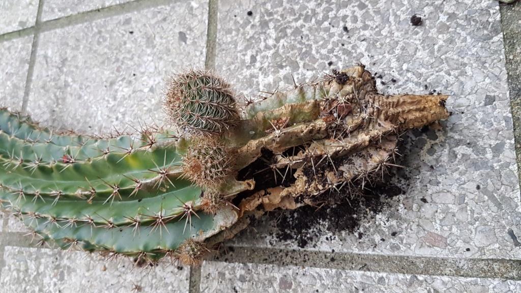 Echinopsis [identification à compléter] 20190138
